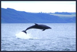 Bottlenose Dolphins can be sen frm North Kessock and Channory Point